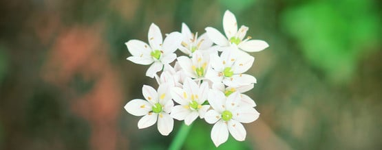 A Closer Look At The Dream Enhancing Silene Capensis