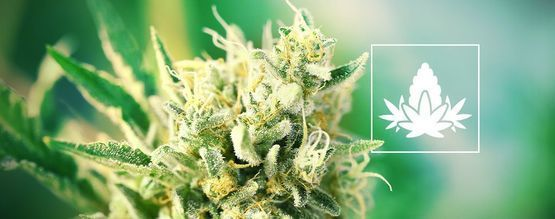 Best Practices For The Cannabis Flowering Phase