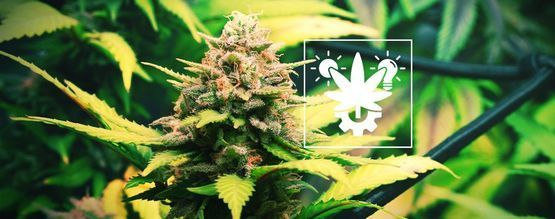 Tips For Growing Autoflowering Cannabis Indoors And Outdoors