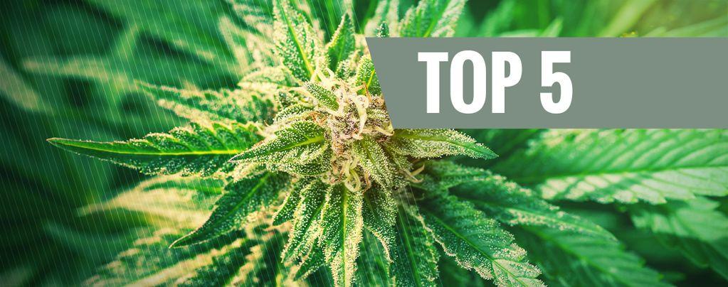 Top 5 Cannabis Ruderalis Strains