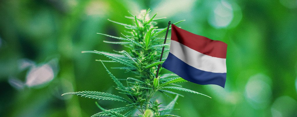Best Outdoor Cannabis Strains To Grow In The Netherlands