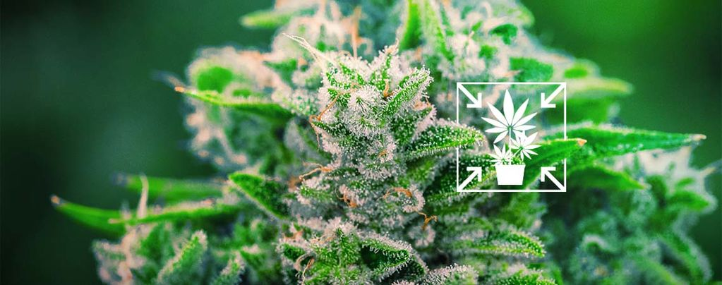 How To Grow Short And Compact Cannabis Plants