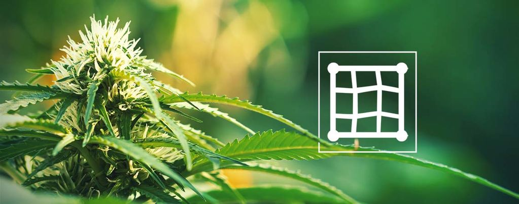 Cropping Cannabis ScrOG Style