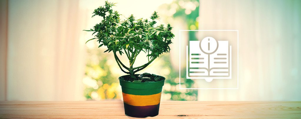 Everything You Need To Know About Cannabis Bonsai Plants