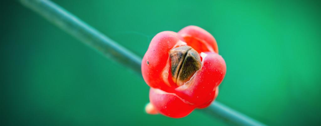 Ma Huang (Ephedra sinica) 20 seeds