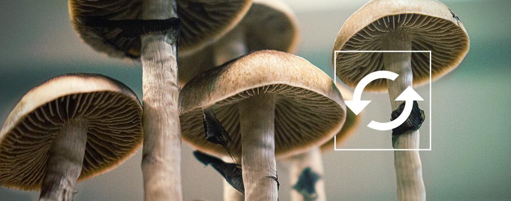 Harvest Multiple Flushes Magic Mushroom Grow Kit