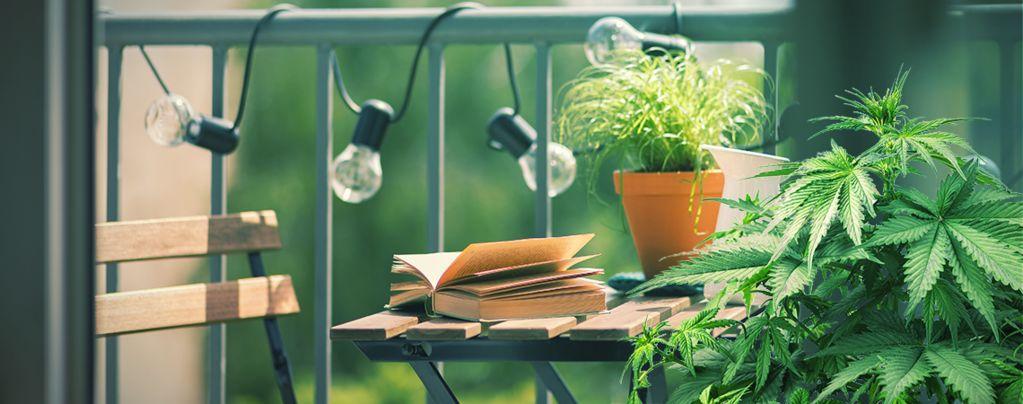 Top 10 Cannabis Strains To Grow On A Balcony Or Terrace