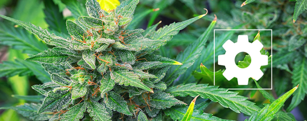 Are Autoflowering Cannabis Strains Less Potent Than Others?