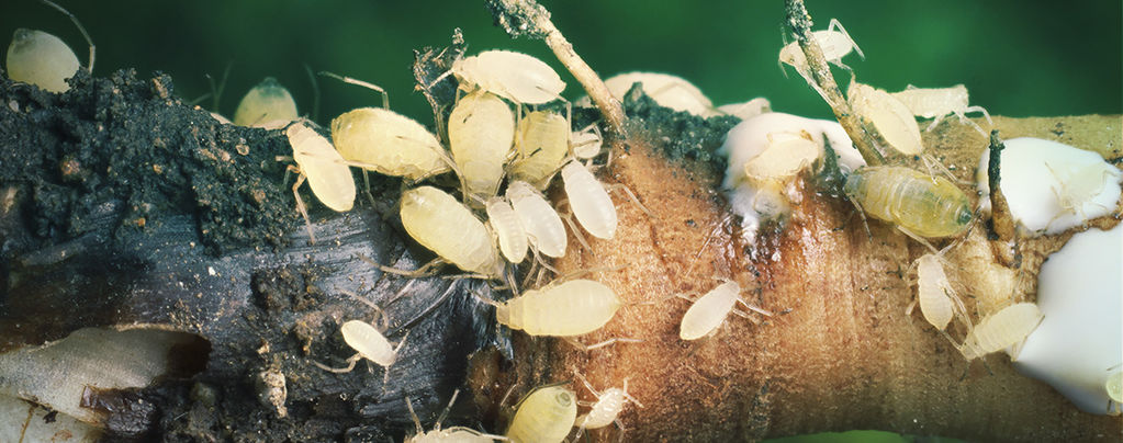 Cannabis Root Aphids