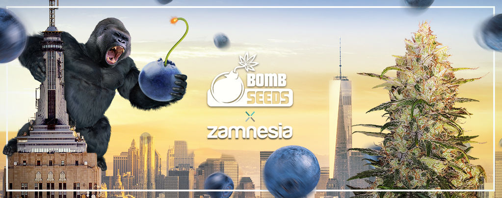 Bomberry Glue Auto (Bomb Seeds x Zamnesia) feminized