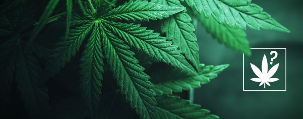 What Is Cannabis?