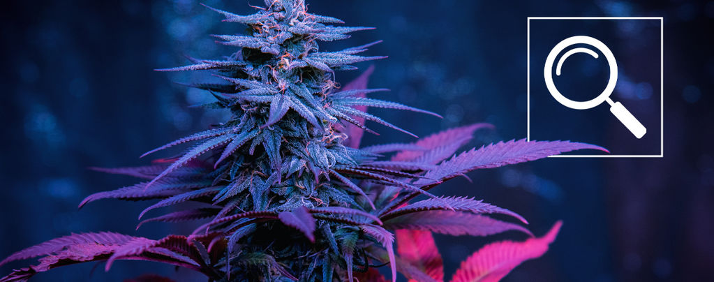 12 Ways To Help You Find Your Favourite Cannabis Strain