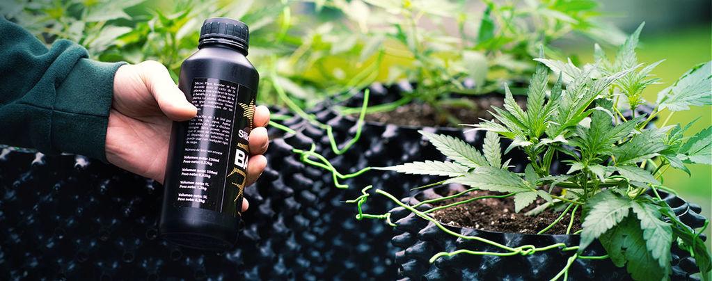 Grow Mega Cannabis Buds With Silica