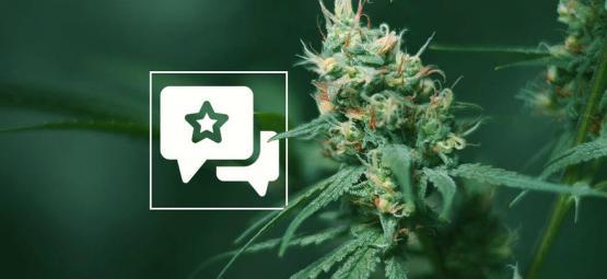 Big Buddha Cheese: Cannabis Strain Review & Information