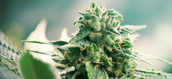 What Is Haze Cannabis