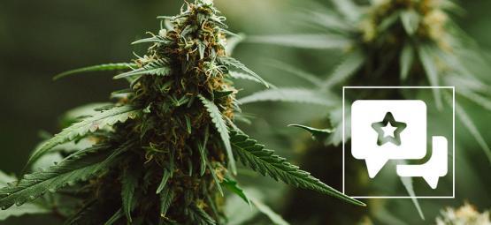 Cannabis Strain Review: Power Plant