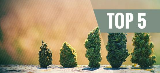 Top 5 High Yielding Autoflowering Strains