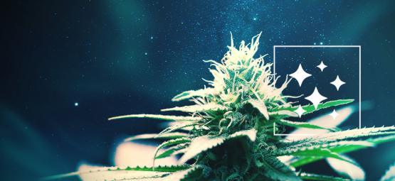 The Origin Of Northern Lights And The Top 3 Northern Lights Cannabis Strains