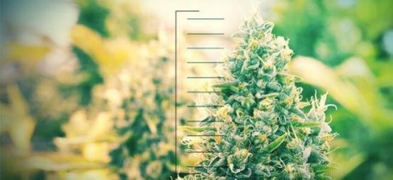 Top 10 Compact Cannabis Plants