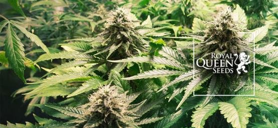 Top 10 Cannabis Strains By Royal Queen Seeds
