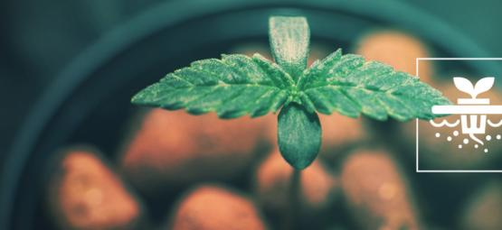 5 Cannabis Strains Perfect For Deep Water Culture Hydroponics