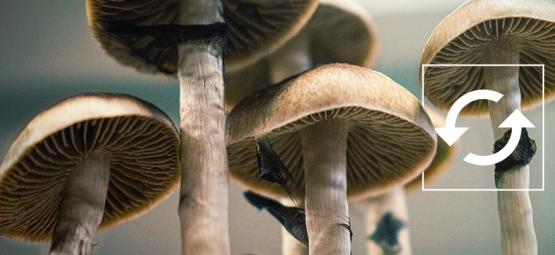 How To Harvest Multiple Flushes From A Magic Mushroom Grow Kit