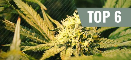Top 6 THCV Cannabis Strains