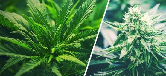 When To Switch Cannabis From Vegetative To Flowering Phase