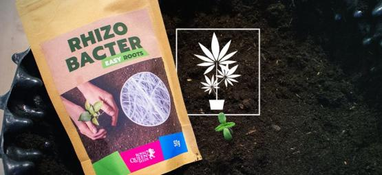 How Rhizobacteria Can Promote Cannabis Growth