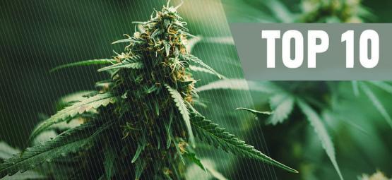 Top 10 Best Regular Cannabis Seeds Of 2021