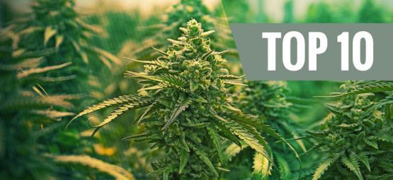 Top 10 Best Feminized Cannabis Strains