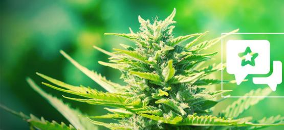 Chemdawg: Cannabis Strain Review & Information