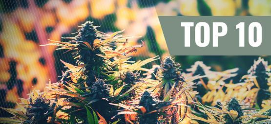 Top 10 Feminized Outdoor Cannabis Strains
