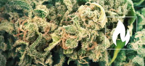 Why And How To Decarboxylate Your Cannabis