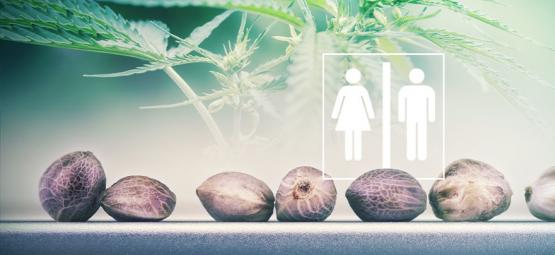 Can You Tell The Sex Of Cannabis Seeds?