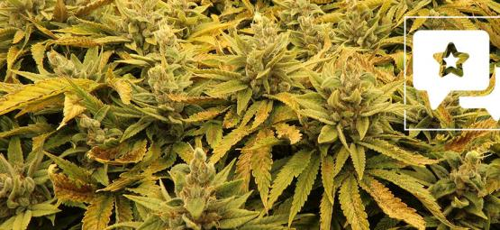 Strain Review: Bubba's Gift