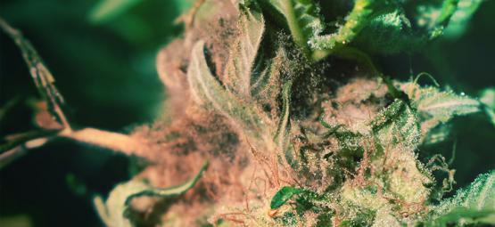 How To Spot And Prevent Bud Rot When Growing Cannabis