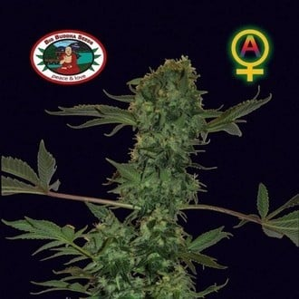 big buddha seeds automatic feminized